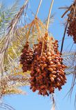 Ripe dates on the palm tree Royalty Free Stock Photo