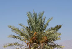 Ripe dates on the palm tree Royalty Free Stock Photography