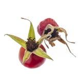 Ripe dog rose fruits Royalty Free Stock Image
