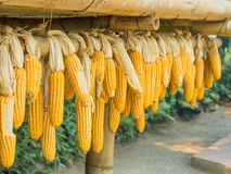 Ripe Dried Corn Cobs Hanging Stock Image
