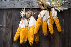 Ripe dried corn cobs hanging Stock Photos