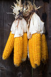 Ripe dried corn cobs hanging Royalty Free Stock Images