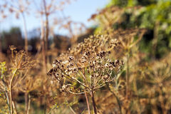 Ripe dry dill Royalty Free Stock Images