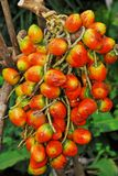 Ripe dry fruit: Pejibaye Stock Image