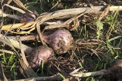 Ripe dug garlic. During harvest, lies on the soil of the field for drying, closeup royalty free stock image