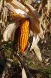 Ripe ear of corn. Pictured disclosed ripe ear of corn on the stalk. He is a bright, yellow light. Foliage dry. Corn can be harvested for seed. Rural life. Rich Royalty Free Stock Images