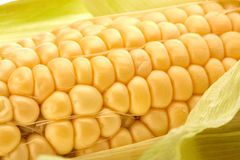 Ripe ear of corn. Royalty Free Stock Images