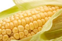 Ripe ear of corn. Stock Photography