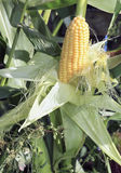 Ripe ear of corn Stock Image