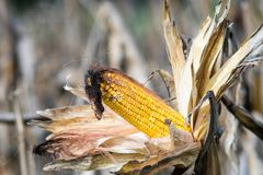 Ripe Ear of maize or corn on the stem ready for harvest. Zea mays. Royalty Free Stock Photos