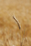 Ripe ear of rye on a background of field Royalty Free Stock Image