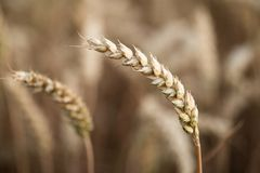 Ripe ear of rye Royalty Free Stock Photography