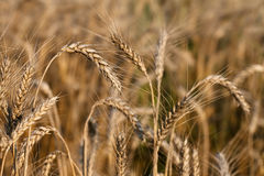 Ripe ear of wheat Royalty Free Stock Photography
