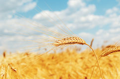 Ripe ear of wheat Stock Photo