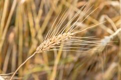 Ripe ear of wheat Royalty Free Stock Photos