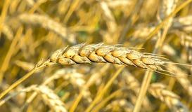Ripe ear of wheat in a field, macro Stock Photo