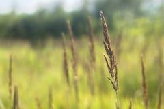 Ripe ear of wheat grass Stock Photos