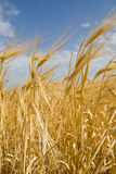 The ripe ears. Of wheat against the backdrop of the sky Stock Images