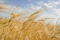 The ripe ears. Of wheat against the backdrop of the sky Royalty Free Stock Image