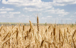 Ripe ears. Yellow grain ready for harvest growing in a farm field Royalty Free Stock Image