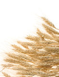 Ripe ears of barley on white Royalty Free Stock Photography