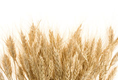 Ripe ears of barley on white Royalty Free Stock Images