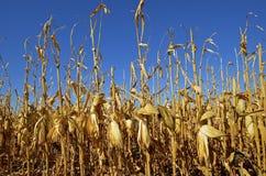 Ripe ears of corn Royalty Free Stock Photo