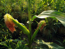 Ripe ears of corn on stalk in field Royalty Free Stock Images