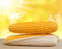 Ripe ears of corn Stock Images