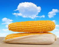 Ripe ears of corn Stock Photography