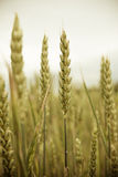 Ripe ears of grain in wheat field Stock Images