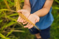 Ripe ears of rice in a child`s hand. Products from rice concept. Food for children from rice. A healthy children`s royalty free stock image