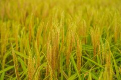 Ripe ears of rice. Closeup of rice ear on plantation.  stock image