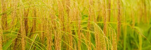 Ripe ears of rice. Closeup of rice ear on plantation BANNER, long format. Ripe ears of rice. Closeup of rice ear on plantation. BANNER, long format royalty free stock images