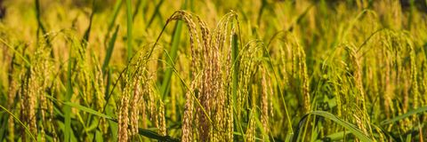 Ripe ears of rice on a field in the background of sunlight BANNER, long format stock image