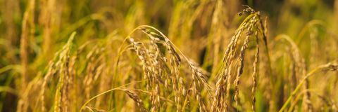 Ripe ears of rice on a field in the background of sunlight BANNER, long format stock photography