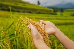 Ripe ears of rice in a woman`s hand. Products from rice concept. Rice flakes, flour, drink, rice sake vodka stock image