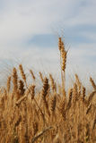 Ripe ears of rye in the field Royalty Free Stock Photo