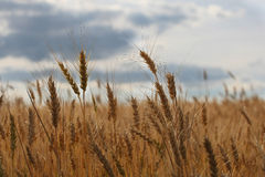 Ripe ears of rye in the field Royalty Free Stock Image