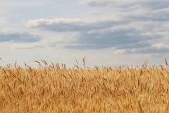 Ripe ears of rye in the field against the sky Royalty Free Stock Photography