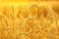 Ripe ears of rye Royalty Free Stock Images