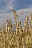 Ripe ears of wheat Stock Photos