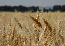 Ripe ears of wheat on agriculture field stock photo Stock Photo