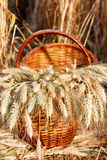 Ripe ears wheat in basket Royalty Free Stock Image