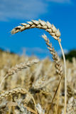 Ripe ears of wheat Royalty Free Stock Photos