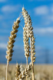 Ripe ears of wheat Royalty Free Stock Image