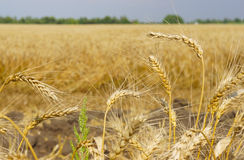 The ripe ears of wheat. The ripe wheat ears close-up Stock Photo