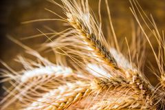Ripe ears of wheat close up, dry yellow cereals spikelets on dark blurred background. Bright colorful golden rye spikelets, harvest backdrop. Field of ripe royalty free stock photos