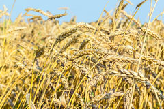 Ripe ears of wheat in a field Stock Images