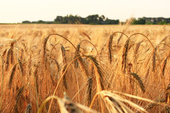 Ripe ears of wheat in the field Royalty Free Stock Photography